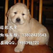 广州金毛犬广州哪里有卖宠物狗金毛图片