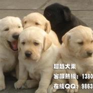 广州深圳东莞中山珠海拉布拉多犬图片