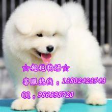 供应广州微笑天使萨摩耶纯种白色萨摩耶大型犬雪橇犬萨摩耶出售