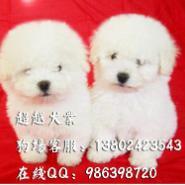 广州比熊犬价钱广州边度有卖图片