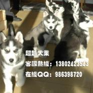 西伯利亚雪橇犬哈士奇广州哈士奇价图片