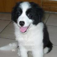 广州什么地方有卖边境牧羊犬图片