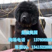 广州哪里有狗卖广州哪里有卖藏獒图片