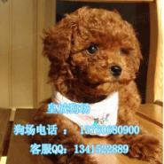广州哪里有卖贵宾犬广州贵宾犬多少图片