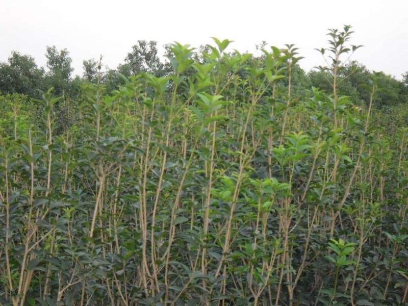 树苗图片|树苗样板图|湖南优质丹桂树苗-浏阳镇
