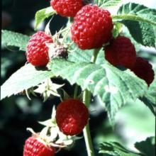 国家审定新品种树莓━红宝玉国家审定新品种树莓红宝玉