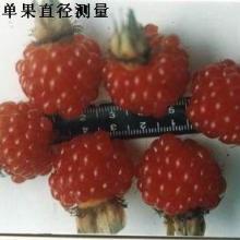 国家审定新品种树莓━丰满红国家审定新品种树莓丰满红