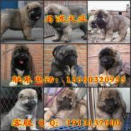 广州海珠边度有狗场卖纯种柯基幼犬图片