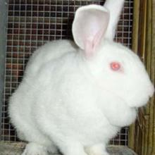 供应2011年9月肉兔种兔行情肉兔养殖前景