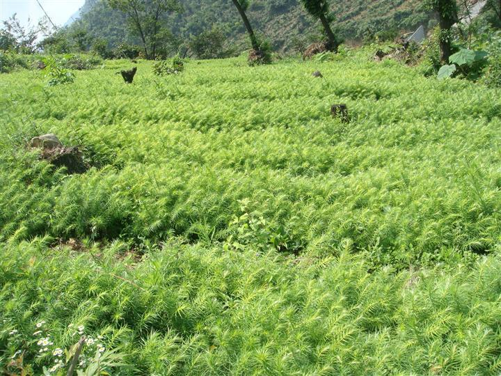 供应优质杉木苗