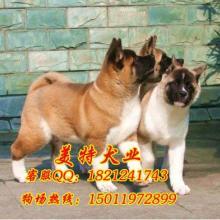 日本秋田犬价格日本秋田犬图片纯种秋田犬价格纯种秋田犬价格多少钱批发