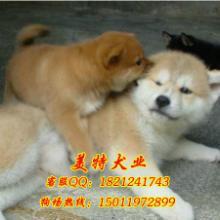 广州哪里有卖秋田犬广州边度有卖纯种秋田犬广州纯种秋田犬多少钱一只批发
