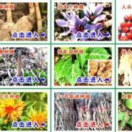 种植天麻方法天麻种植基地天麻图片