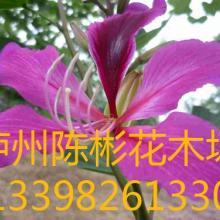 供应红花羊蹄甲,红花紫荆,洋紫荆,香港紫荆批发