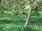 供应苹果树梨树海棠树优质苗木供应图片