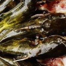 供应昂丝鱼
