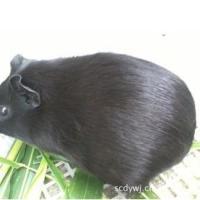 中国黑豚鼠商品