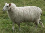 供应绒毛羊