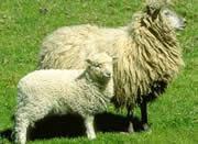 供应绒毛羊-旺友牧业
