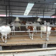 供应上饶小尾寒羊养殖基地-小羊价格图片