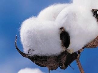 籽棉图片/籽棉样板图 (2)