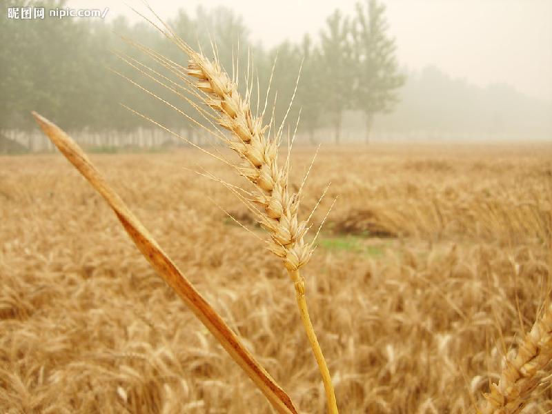 小麦图片/小麦样板图 (2)