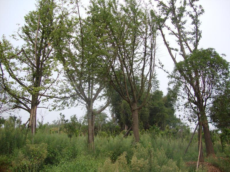供应重庆黄葛树基地绿化苗木