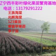 光辉紫叶西府王族海棠苗木辽宁西丰图片