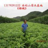 供应糖槭苗130-170公分