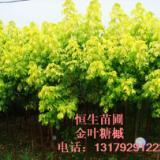 供应糖槭糖槭苗规格高度150cm-200cm