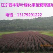 王族海棠苗辽宁西丰红黄蓝绿紫苗图片
