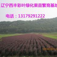 彩叶海棠图片