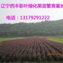 供应彩叶海棠,北美海棠苗,王族海棠苗,光辉海棠苗,红肉海棠苗图片