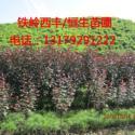 供应吉林和辽宁哪里有王族海棠苗-辽宁恒生苗圃