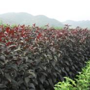 李子苗-密枝红叶李-紫叶稠李图片