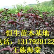 苗木推广123果苗各种海棠苗图片