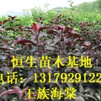 供应苗木推广123果苗各种海棠苗各种李子苗13179291222