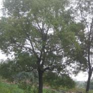 湖北香樟12公分18公分25分公分价格图片