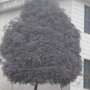 香樟栾树广玉兰苗木图片