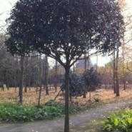 湖北桂花树图片