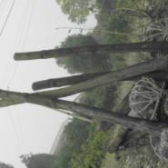 哪里的枇杷香樟栾树有批发价图片