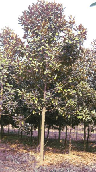 供应10广玉兰在湖北荆州顺欣苗木