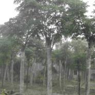 湖北10公分栾树15公分18公分价格图片