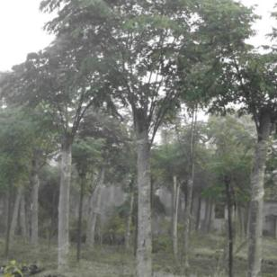 湖北栾树5公分15元带土球价格图片