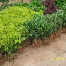 供应湖南灌木