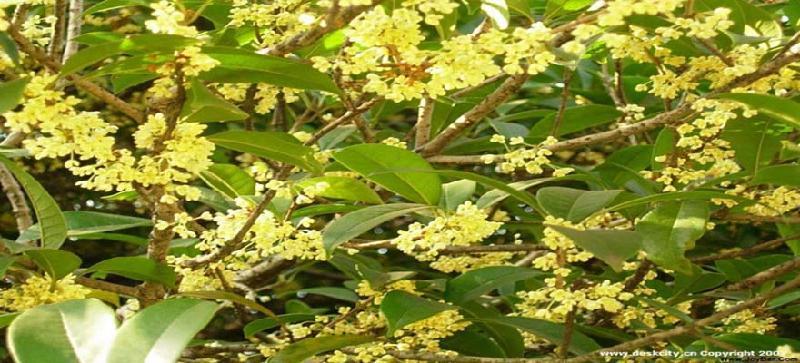 金桂花黄色至深黄色,香气浓郁,银桂花近白色或黄白色,香味较金桂淡.