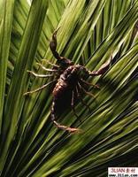 供应蝎子的繁殖
