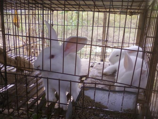 供应广西玉林种兔场图片