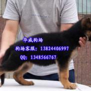 出售纯种防暴犬德国牧羊犬图片