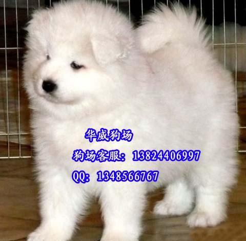 广州哪里有卖纯种萨摩耶犬销售